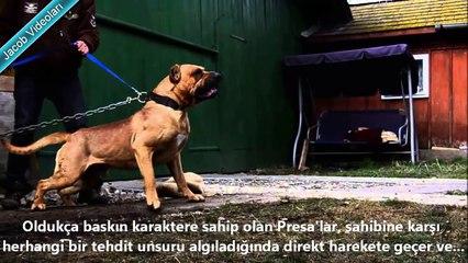 Dogo Argentino vs Presa Canario About Facts ►► Dogo Arjantin vs Presa Canario Hakkında ► Güçlü Köpek