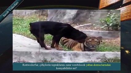 Rottweiler vs Wild Boar About Facts ► Rottweiler Yaban Domuzunu İndirebilir mi ► Kavgayı kim kazanır
