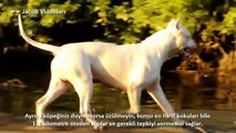 Dogo Argentino Morocho saves 2 girls from Puma attack - Dailymotion