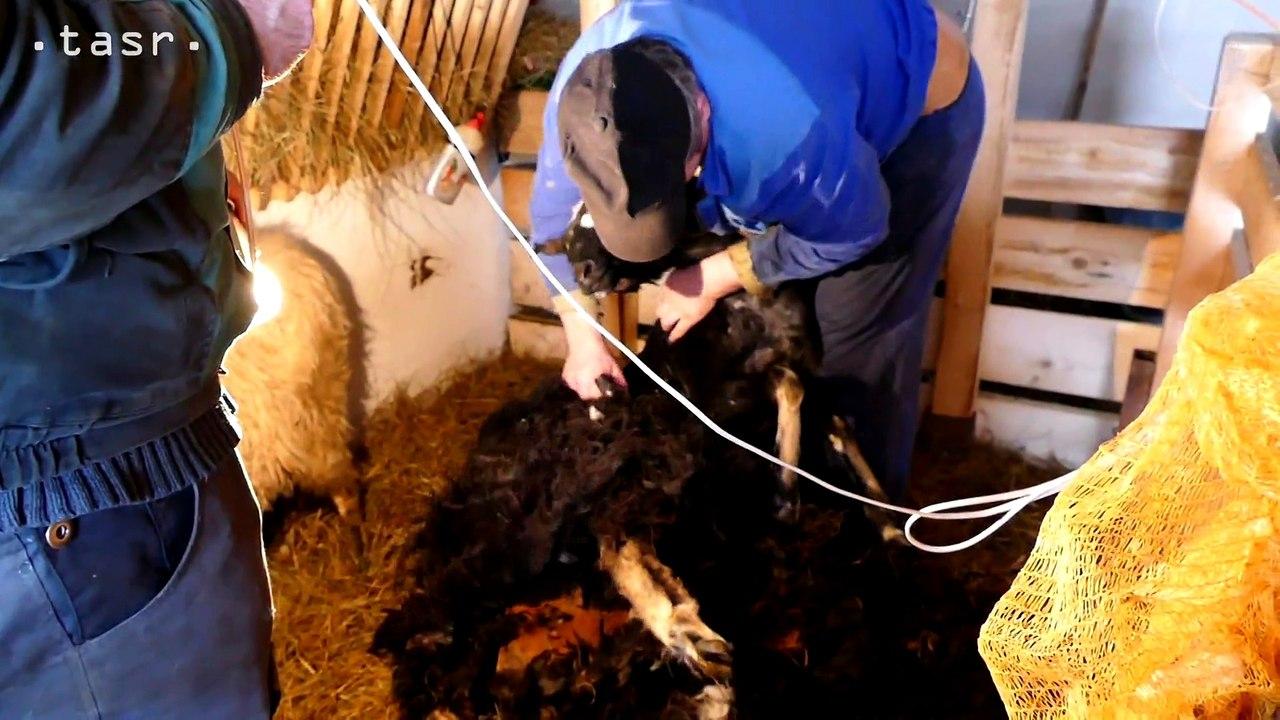 Strihanie oviec v Terchovej