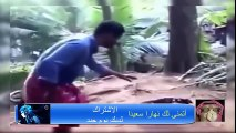 hyenas kills porc