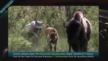 KRAL KİM    Kangal mı Kurt mu ►► Dünyanın En Güçlü Köpekleri ► Kurtboğan Kangallar