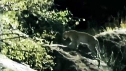VAHŞİ HAYAT   Babunlar Çita ve Leopara Saldırıyor ►► Wild Baboon attacks Cheetah and Leopard