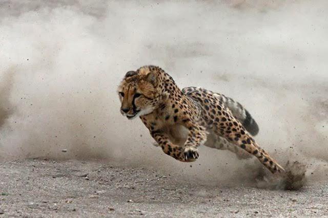 Chez le guépard animal terrestre le plus rapide au monde freiner est la clé