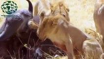 Lions vs buffalo - Crocodile vs Zebra - The real fight of animals attack prey