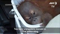 Baby orangutans rescued in Thai police sting-43ws-fQ8UGw