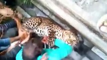 Video captures dramatic leopard attack