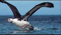Gerçek  Albatros Kuşu Sesi