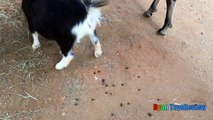 ANIMALS POOPING AT THE ZOO Kid at the ZOO Funny Family Fun Trip to Petting Farm Animals for Childr