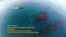 Drones Over Blue Whales, Gray Whales in Surf, Megapod of Dolphins off Dana Point Whale Watching