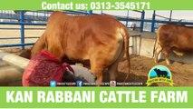 250 || Cow Qurbani || 2017 || 2018 || Karachi Sohrab Goth || Kan Rabbani Cattle Farm ||