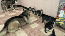 SIBERIAN HUSKY DAD PLAYING WITH HIS 9 PUPPIES FOR THE FIRST TIME  6 WEEKS OLD!