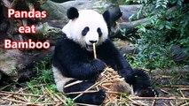 Panda- Animals for Children Kids Videos Kindergarten Preschool Learning Toddlers Sounds Songs Zoo