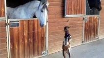 Ce bébé chèvre essaye de cogner un cheval.. Trop Mignon