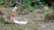 Lions Documentary - IN ACTION!!  WHITE LION CHALLENGES HYENAS  - WILD