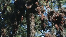 That's Amazing - Longest Insect Migration in the World - Monarch Butterfly