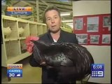 Big Black Chicken Scares Australian Reporter