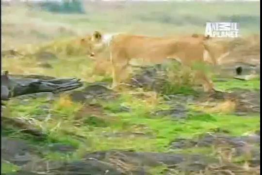 Buffalo vs Lion fight, buffalo wins.