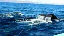 Whales for Kids, Ocean Whale Videos for Children, Lots of Humpback Whales in Nature