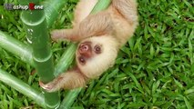 Cute Sloth - A Funny And Cute Sloth Videos Compilation 2015-7zbHQ9DlW0k