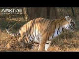 Bengal Tiger marks his territory by discharging a splash of testosterone-laced urine