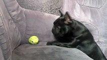 Un toutou joue avec sa balle