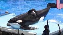 Seaworld killer whale dies: Tilikum the Blackfish orca who killed trainer has died - TomoNews