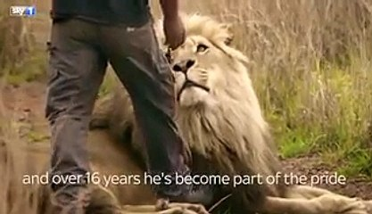 Lion Grabs Tourist in Animal Park