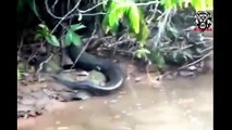 Most Amazing Wild Animal Attacks - Prey Animals vs Predator Fight Back   Anaconda Attack Cow,Dog