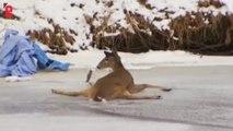 Etats-Unis: piégée sur rivière gelée, une biche est secourue par une femme
