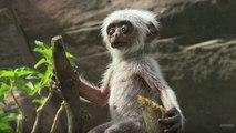 Réactions de singes face à un singe électronique