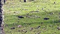 Saint-Laurent-des-Hommes (24) : des bécassines des marais dans un jardin