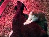 Ce chat massant une chèvre qui attend des petits est la chose la plus mignonne que vous verrez aujourd'hui