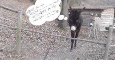 """""""Burro inteligente"""" vira sensação na Internet após demonstrar que de """"burro"""" não tem nada..."""