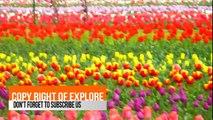 Tulip Garden , Asia largest tulip garden