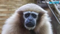 New Species of Monkey Named After Star Wars Character