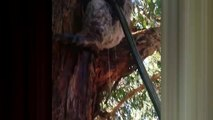 Ce Koala boit direct au tuyau d'arrosage en Australie