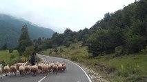 Une vieille bergère se fait charger par un de ses moutons