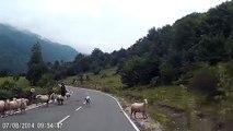 Une bergère se fait très violemment attaquer par un de ses moutons