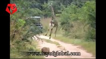 Most Amazing Wild Animal Attacks - Lion Vs Giraffe Fight To Death ( Lion Attacks Giraffe )