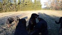 La meute de Beauceron de la Plaine d'Astrée Berger de Beauce Bas-Rouge Noire et feu ou Arlequin chiots rustiques ancien