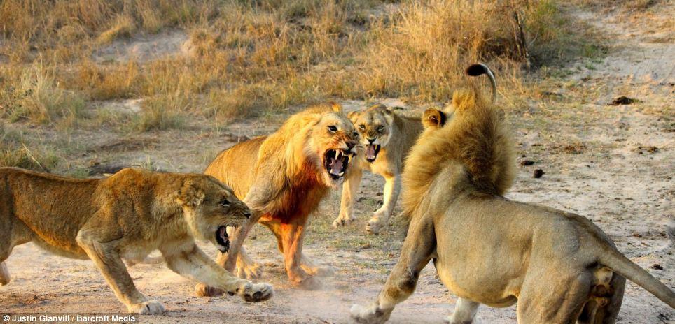 Two Male Lions Kills Lioness – Deux, mâle, Lions, tue, lionne