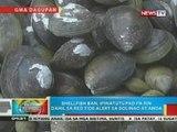 Mahigit 4 na sakong tahong na kontaminado raw ng red tide toxin, kinumpiska sa Dagupan City