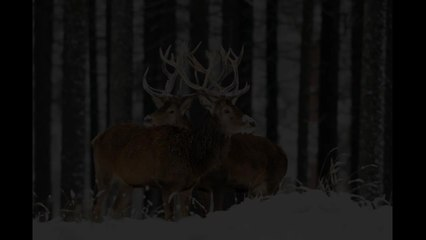 cerf_en_hiver