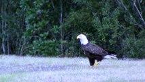Des vautours viennent voler le poisson d'un aigle... Bande de vautours!