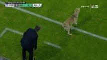 Un chien et un chat s'incruste sur le terrain pendant un match de foot au Mexique