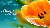 Sweet Sweet Tulipan