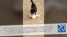 Un chien s'attaque à une oie pour défendre son maître