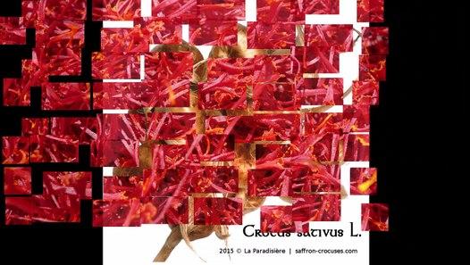 Crocus Sativus Bulbs For Growing Your Own Saffron Spice