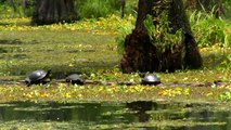Louisiana Swamp Tour, Hunting for Alligators!-QYgpNcZfeM0